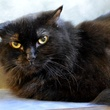 Furline the Austin Pet of the Week cat with grumpy look