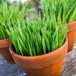 Photo of pot of cat grass