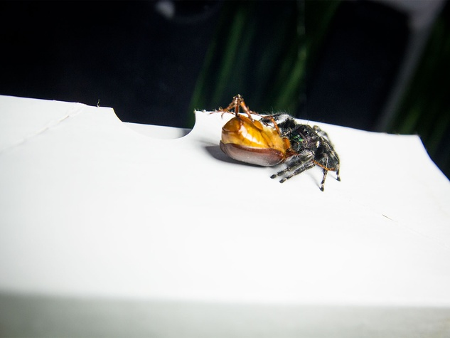 Photo of jumping spider dragging away a beetle
