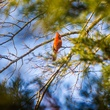 Photo of male cardinal in cedar tree