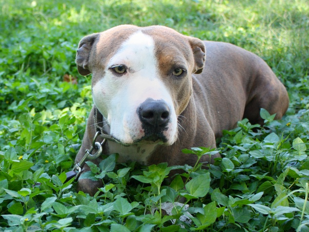 APA! pet of the week Al Pacino laying in the grass