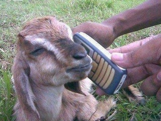 Goat with a phone